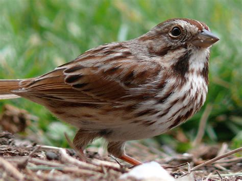 file song sparrow 27527 2 jpg wikipedia