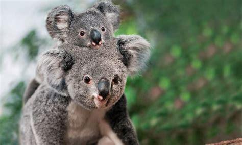 koalas  spend   lives