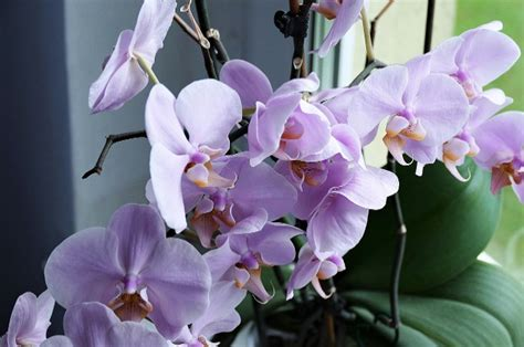 grow orchids indoors  guide  beginners