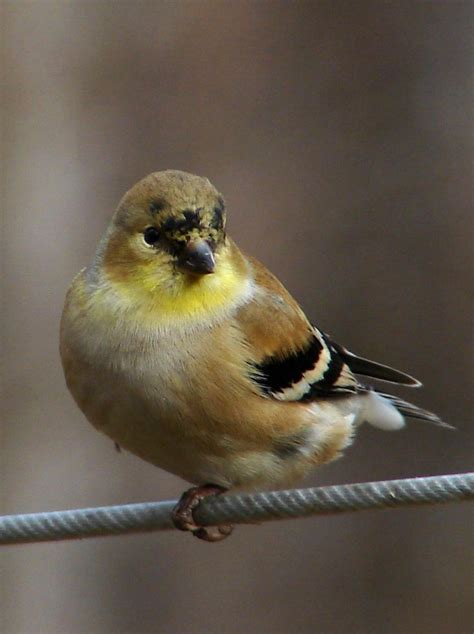 file american goldfinch winter f jpg wikipedia