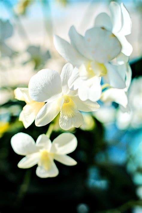 attractive white orchid flowers pictures weneedfun