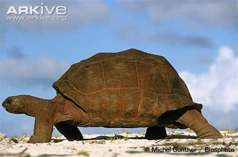 Aldabra giant tortoise photo - Geochelone gigantea ...