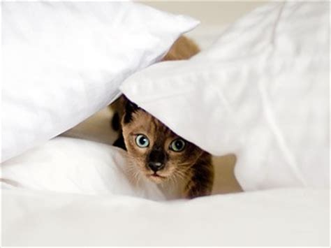 bed bugs and cats bed bugs and pet safety what you need to know animals pets