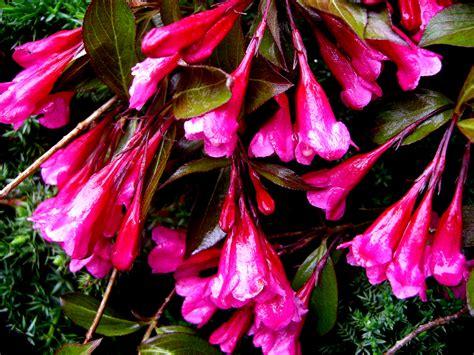 Alice Oakleaf Hydrangea Carolyn S Shade Gardens Flowers For Shade Gardens