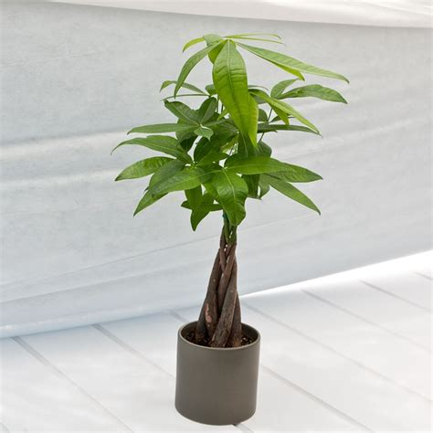 small braided money tree in 4 in cylinder ceramic