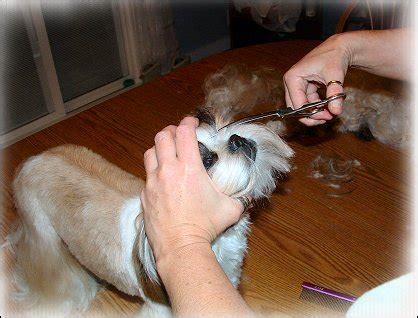 shih tzu muzzles shih tzu cut ii by doggie bow ties