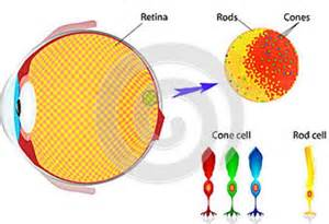 receptor cells in the retina responsible for color vision are color matching basics part i color matching