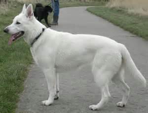 all white german shepherd german shepherds best dogs in the world boston