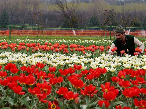 In Pics Tourists Enjoy At Asia S Largest Tulip Garden In Tulip Flower Garden In India