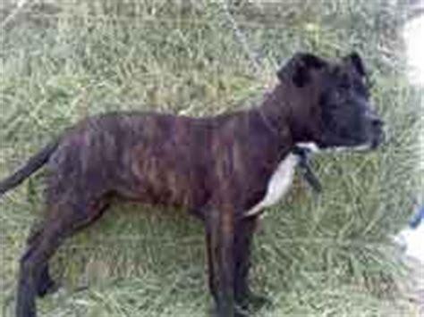 brindle pitbull puppies for sale pitbull puppies for sale pit puppies for sale pit bull puppies mcnamara pit