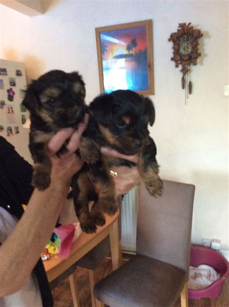yorkie puppies for sale bc terrier puppies for sale derby derbyshire pets4homes