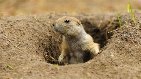 prarie dogs prairie may be losing a battle to survive abc news