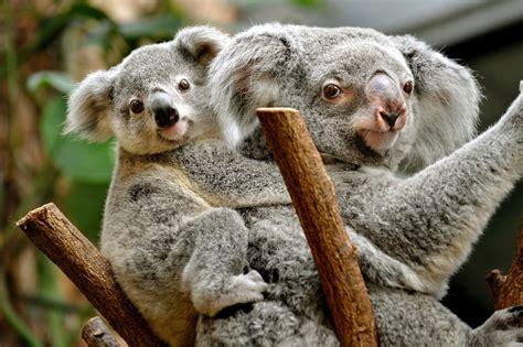koala hängematte koalas en peligro