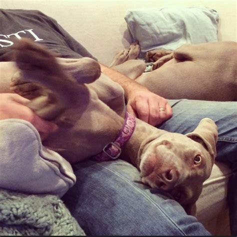 dog watching tv on couch life with weimaraners barrett weimaraners