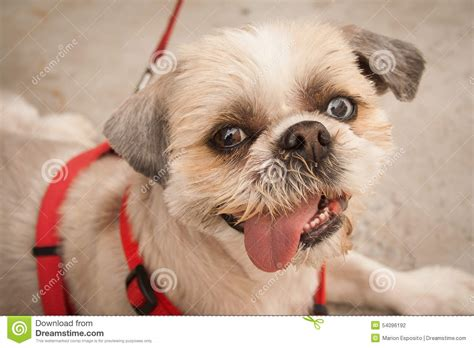 shih tzu eye color shih tzu with two color stock photo image 54096192