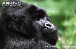 Eastern gorilla photo - Gorilla beringei - G3875 | Arkive