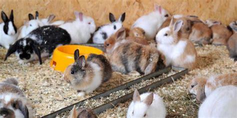 Sisir Untuk Kelinci dahlan program ternak kelinci siap untuk entaskan kemiskinan merdeka