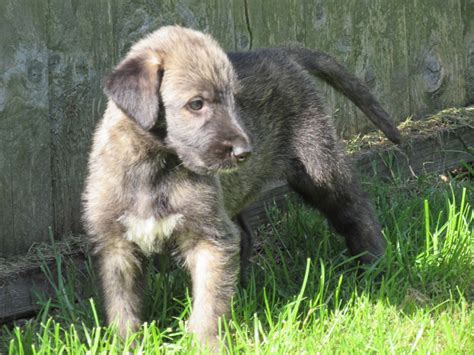 wolfhound puppy stunning wolfhound puppies boston lincolnshire pets4homes