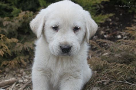 pictures of great pyrenees puppies great pyrenees puppy for sale near york pennsylvania aa26fb57 59a1