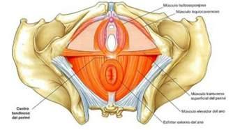 anatomia pavimento pelvico suelo p 233 lvico 171 gema garciag 225 lvez