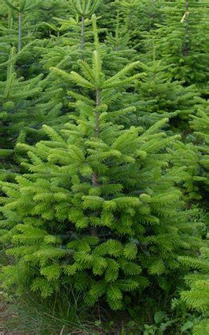 Baumschule Versand Bäume 692 baumschule versand serbische fichte im topf picea
