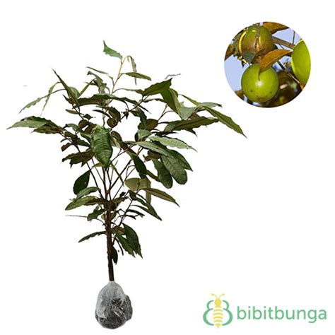 Pohon Sawo Manila Atau Sawo Durian tanaman kenitu sawo durian bibitbunga