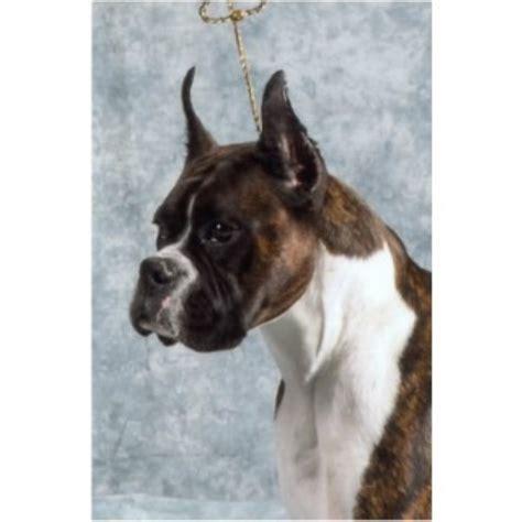 boxer puppies mn crowriver boxers boxer breeder in paynesville minnesota
