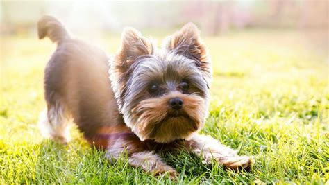 how to give a yorkie a puppy cut yorkie puppy cut terrier puppy trim yorkie