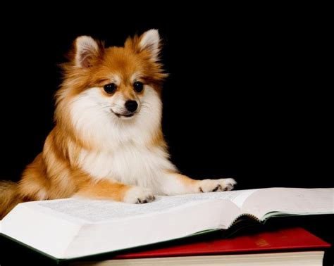 are pomeranians smart puppy names and meanings slideshow