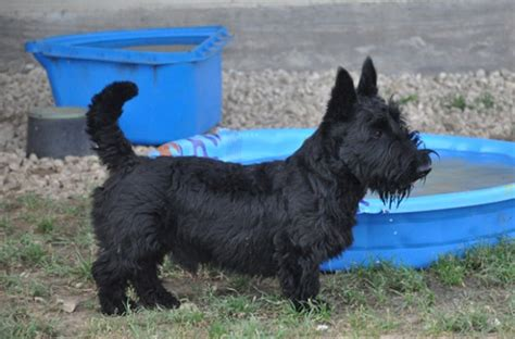Brister Family Terriers | akc male scottish terrier puppies in texas brister