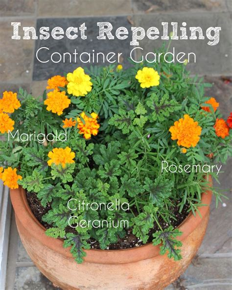 insect repellent plants vegetable garden 25 best ideas about mosquito repelling plants on