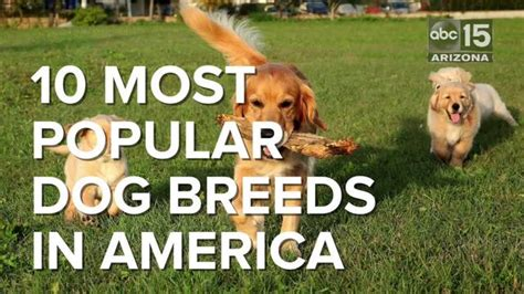 popular breeds in usa 10 most popular breeds in america abc15 arizona