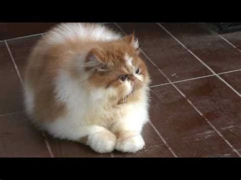 Sho Kucing kucing lucu banget