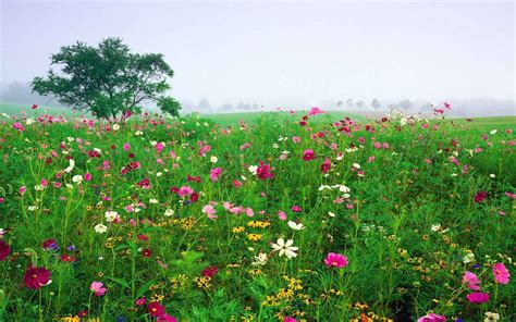 field of flowers pictures free field of flowers background wallpaper free wallpaper