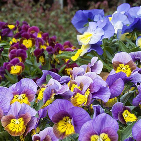 winter flowers for the garden best winter flowers for color sunset