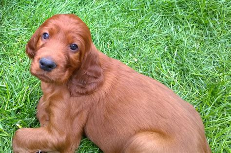 red setter dogs and puppies for sale litter of beautiful irish red setter puppies london