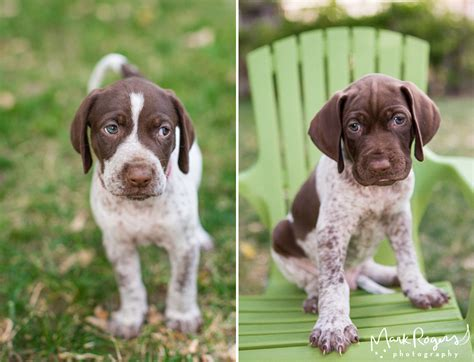 german shorthaired pointer puppies mn excellent german wirehaired pointer puppies mn images electrical circuit diagram