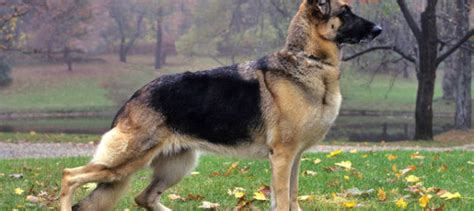 best dog to guard house the best guard dogs that will protect your home grooming