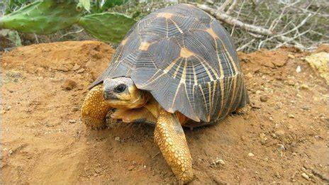 madagascars tortoise mafia   attack bbc news