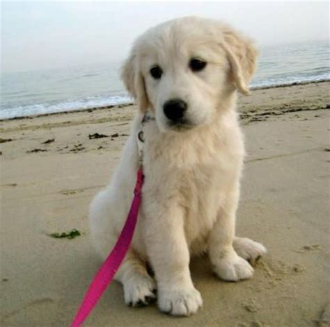 puppy names for golden retrievers best 25 golden retriever names ideas on puppy names a puppy
