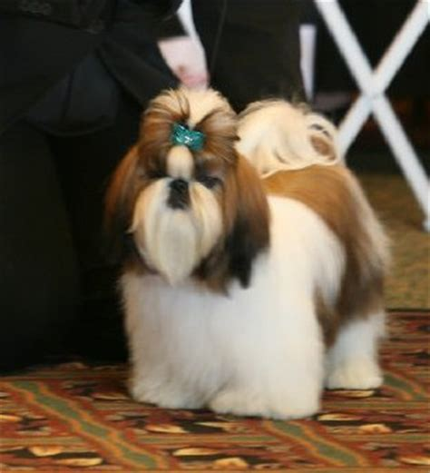 show me a shih tzu can you show me some pictures of small non shedding 10 points yahoo answers