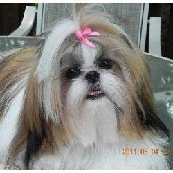 shih tzu breeders in ct 242 best cuties images on shih tzu puppy shih tzus and html