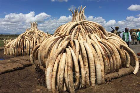 elephant ivory ivory looks best on elephants redduckpost