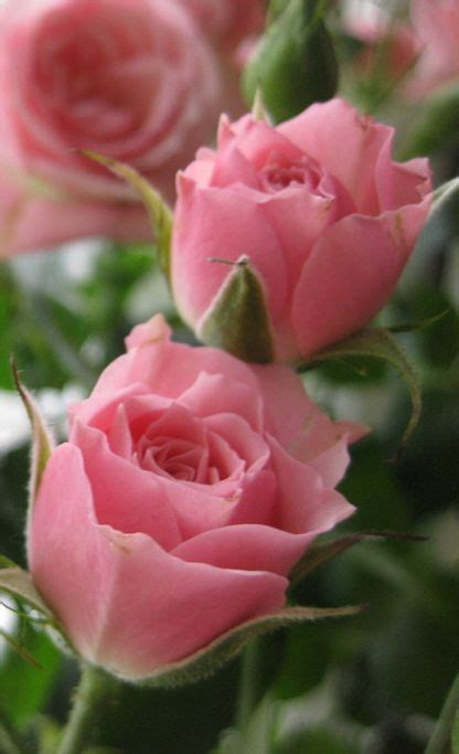 imagenes de rosas increibles m 225 s de 25 ideas incre 237 bles sobre rosas hermosas de amor en