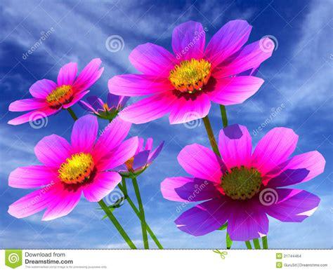 mooie bloemen afbeeldingen de mooie bloemen van de kosmos stock afbeeldingen
