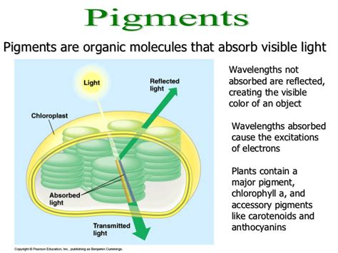 the absorption of light by photosynthetic pigments worksheet answers photosynthesis