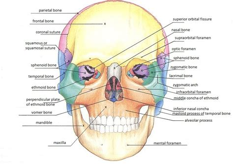 skull diagram labeled frontal skull diagram frontal free engine image for user