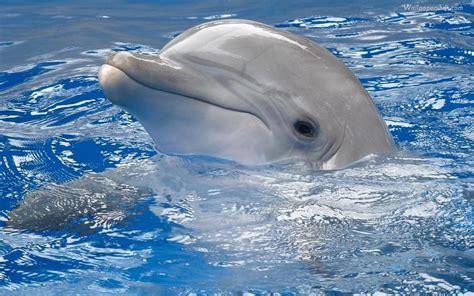 imagenes en hd com fondos de pantalla de delfines