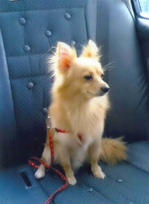 how to tell if your is a pomeranian how to tell if my is a purebred pomeranian dogs breed sierramichelsslettvet