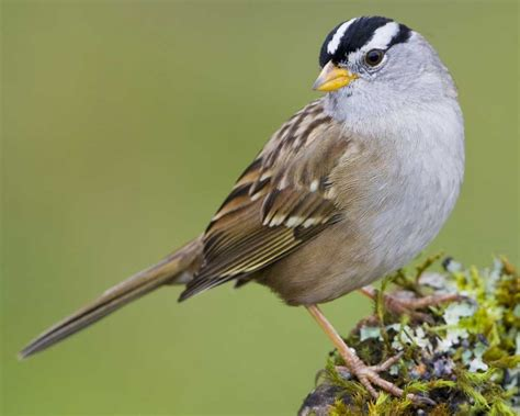 white crowned sparrow audubon field guide